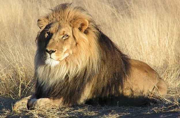Λιοντάρι ( * )